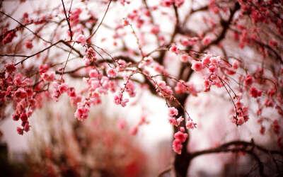Гулять в саду цветущих сакур