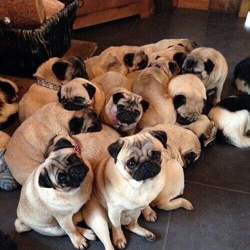 Хочу много мопсиков