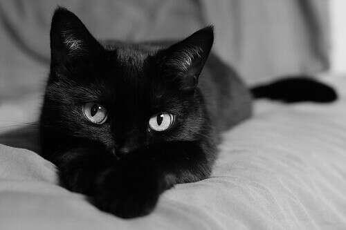 Черную кошку