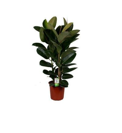 Растение Фикус Робуста