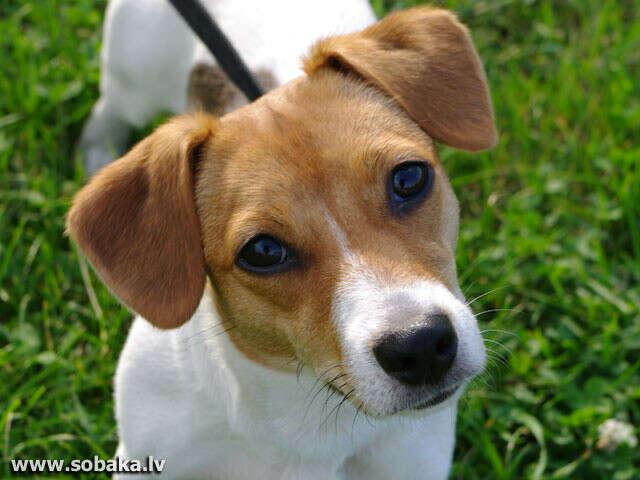 хочу собаку Джек Рассел терьера