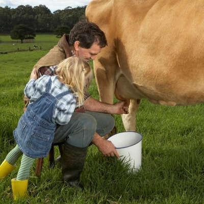 подоить коровку