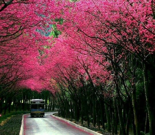 Поехать в Японию когда цветет сакура