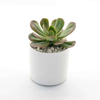 HAPPY LITTLE SUCCULENTS Large Potted Succulent