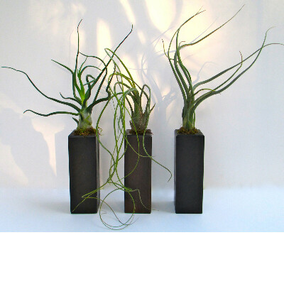 Тилландсии (аэрофиты - воздушные растения)