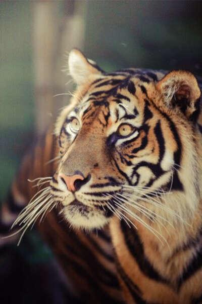 Погладить тигра
