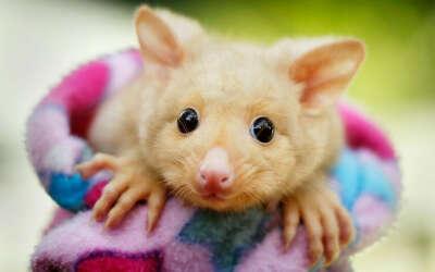 See golden possum