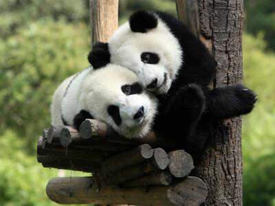 Погладить панду