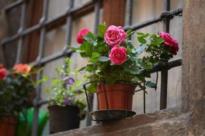 Цветок в горшке или семена домашней розы