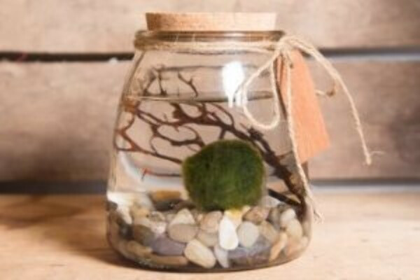 Marimo Moss Ball Buyer's & Care Guide