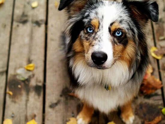 Завести собаку породы бордер-колли