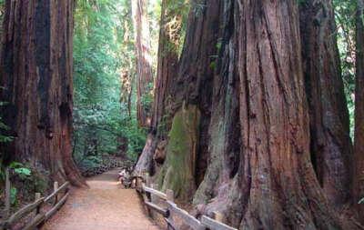 Погулять в секвойном лесу