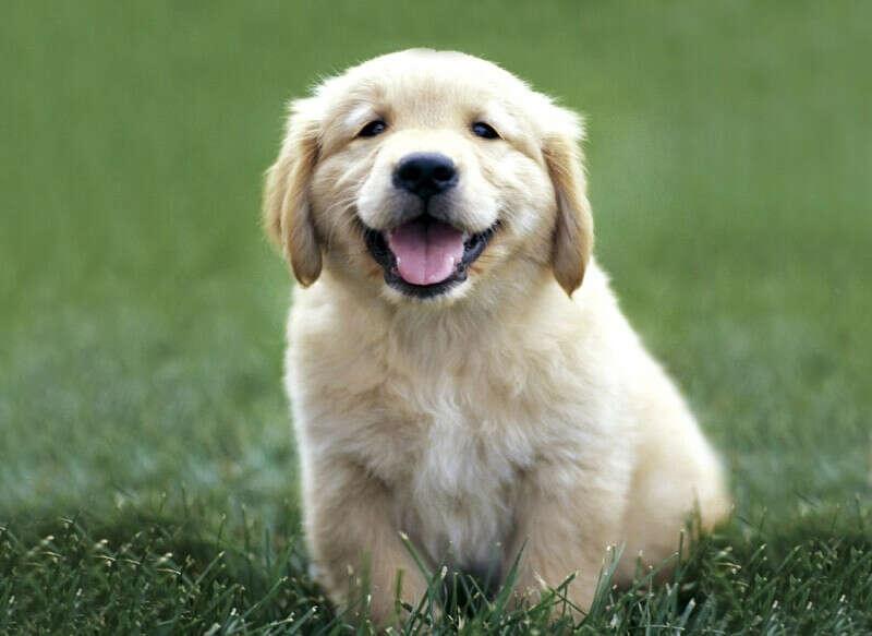щенок золотистого ретривера