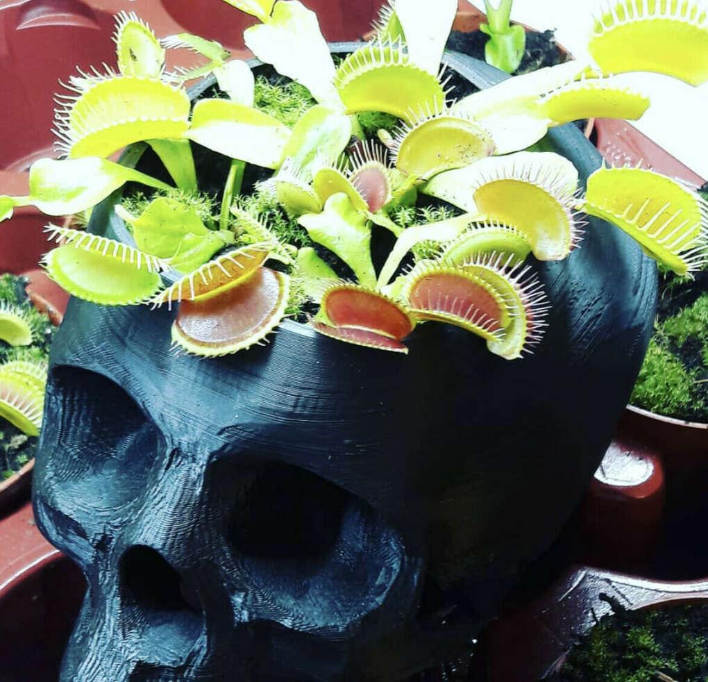Мухоловка растение