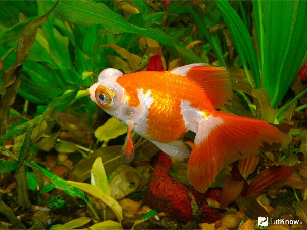 Золотую рыбку